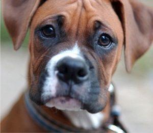 imagenes de perrito boxer