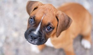 perros boxer