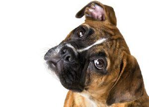 perros boxers