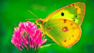 Imágenes Bonitas de Mariposas coloreada