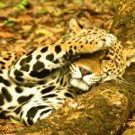 Imágenes de Jaguares