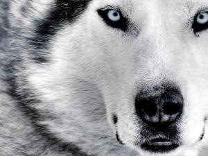 fondos de lobos chidos