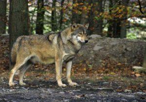 imágenes de lobos bonitas