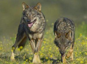imágenes de lobos para descargar