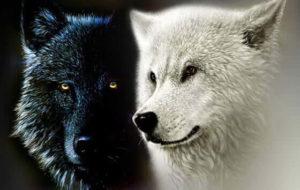 imágenes de lobos para fondo
