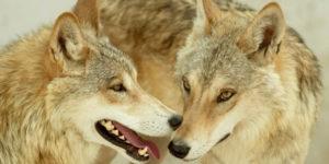 imágenes para fondo de lobos