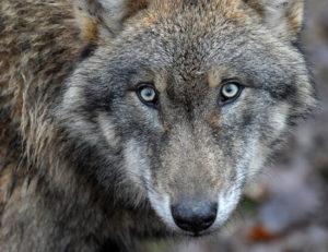 lobos de fondo