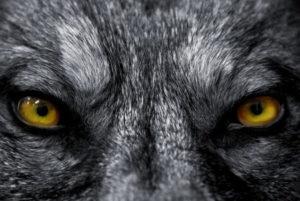 lobos para bajar