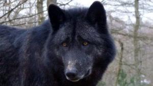lobos para descargar gratis