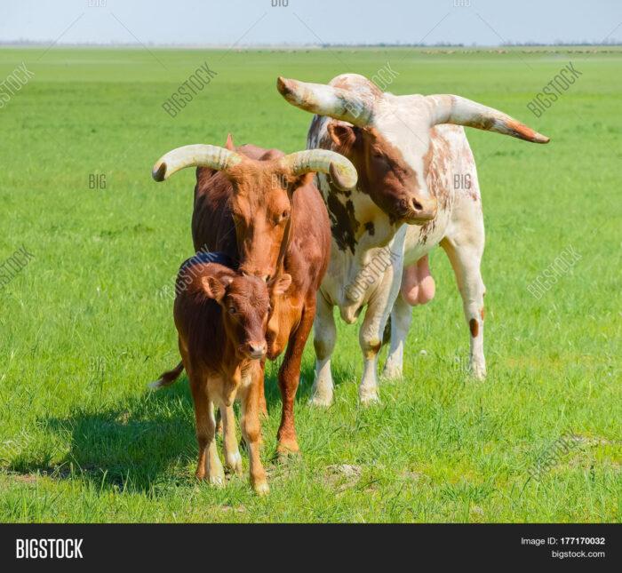 ankole watusi animal